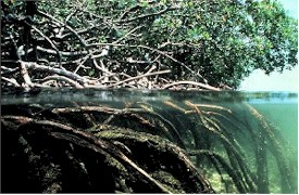 "Mangrove root systems extending out into water - like ""Walking Trees"""